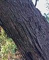 Eucalyptus sieberi - trunk bark.jpg
