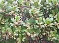 Euclea racemosa - Sea Guarrie Tree - flowers 1.JPG