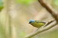 Eufonia Capucha Azul Hembra, Tepoztlán Morelos, México (8733217793).jpg