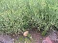 Euphorbia aphylla0.jpg