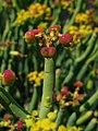 Euphorbia aphylla 003.jpg
