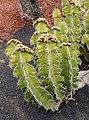 Euphorbia grandialata 01.jpg