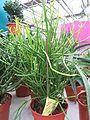 Euphorbia stramineus.jpg