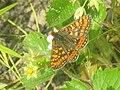 Euphydryas aurinia - Marsh fritillary - Шашечница авриния (27278348478).jpg