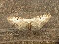 Eupithecia succenturiata (14479116534).jpg