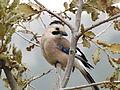 Eurasian Jay 03.jpg