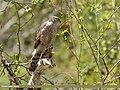 Eurasian Sparrowhawk (Accipiter nisus) (34944377594).jpg
