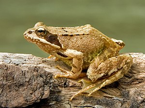 The Common Frog, (Rana temporaria) also known ...