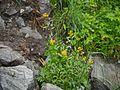European wallflower (7864962516).jpg