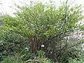 Eurya japonica - Miyajima Natural Botanical Garden - DSC02317.JPG