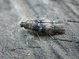 Euzophera pinguis