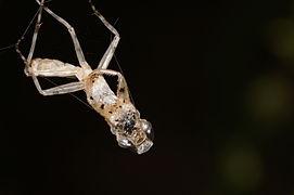 Exoskeleton remains of a grasshopper 07081.JPG