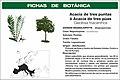 FB2 Acacia de tres púas.jpg
