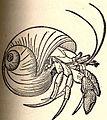 FMIB 52669 Pagurus bernhardus, the hermit-crab.jpeg
