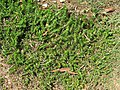 Facelis retusa plant4 (14048208204).jpg