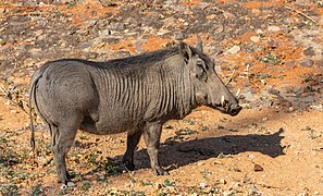 Facocero común (Phacochoerus africanus), parque nacional de Zambeze, Zimbabue, 2018-07-28, DD 01.jpg