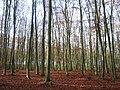 Fagus-sylvatica-Reinbestand-09-XI-2007-18.jpg