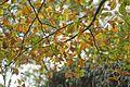 Fagus orientalis Lagodekhi2.jpg