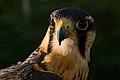 Falcão-peregrino (Falco peregrinus) - Peregrine falcon.jpg