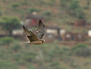 Lanner falcon - Flying in South Africa