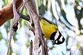 Falcunculus frontatus -Royal Botanic Gardens, Cranbourne, Australia-8.jpg