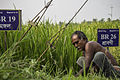 Farmer working in a Paddy Field in BRRI Rajshahi.jpg