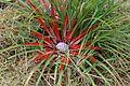 Fascicularia pitcairnifolia var. bicolor - Flickr - S. Rae (1).jpg