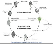Fascioliasis Treatment & Management