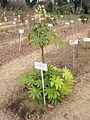 Fatsia japonica in Koishikawa gardens.jpg