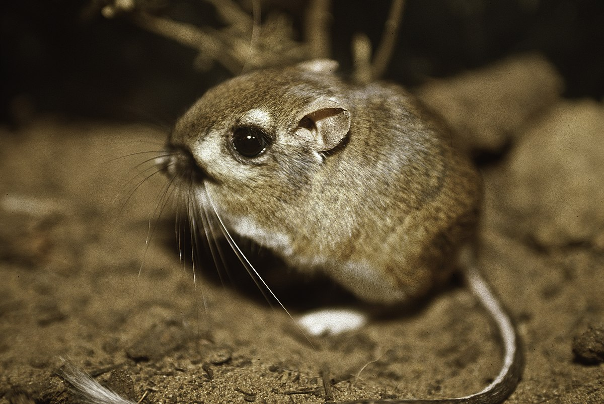 Morro Bay kangaroo rat - Wikipedia