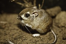 Federally endangered Morro bay kangaroo rat, last documented in the wild in 1986. (31045316021).jpg