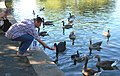 Feeding a black swan and geese, Regents Park - geograph.org.uk - 1370437.jpg