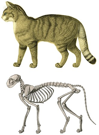 Cat anatomy - Skeleton of a domestic cat