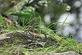 Female Aeshna cyanea laying eggs 6.JPG