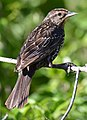 Female Red Winged Blackbird (162039495).jpeg