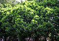 Fern Leaf Tree (Filicium decipiens) in Hyderabad, AP W IMG 7806.jpg