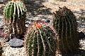 Ferocactus pilosus005.JPG