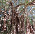 Ficus citrifolia --the Wild Banyan Tree. (25068986055).jpg