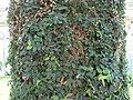 Ficus pumila 1.jpg