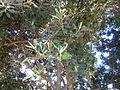 Ficus rubiginosa, lower, a, Pretoria.jpg