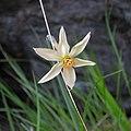 Fiore selvatico Narcissus radiiflorus sul Monte Tovo. Biella, Piemonte, Italy - 2017-05-14.jpg