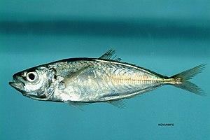 Trachurus lathami - Image: Fish 4503 Flickr NOAA Photo Library