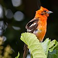 Flame-colored Tanager-0920 - Flickr - Ragnhild & Neil Crawford.jpg