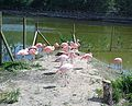 Flamings Poznan ZOO new.jpg