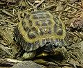 Flat-tailed Tortoise Pyxis planicanda 2390px.jpg
