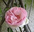 Fleur Pierre de Ronsard.jpg