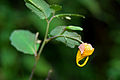 Flickr - ggallice - Jewelweed, Falls of Hills Creek.jpg