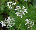 Flor de Coentro.jpg