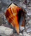 Florida Fighting Conch Shell - Flickr - trishhartmann.jpg