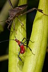 Florida leaf footed bug-2.jpg